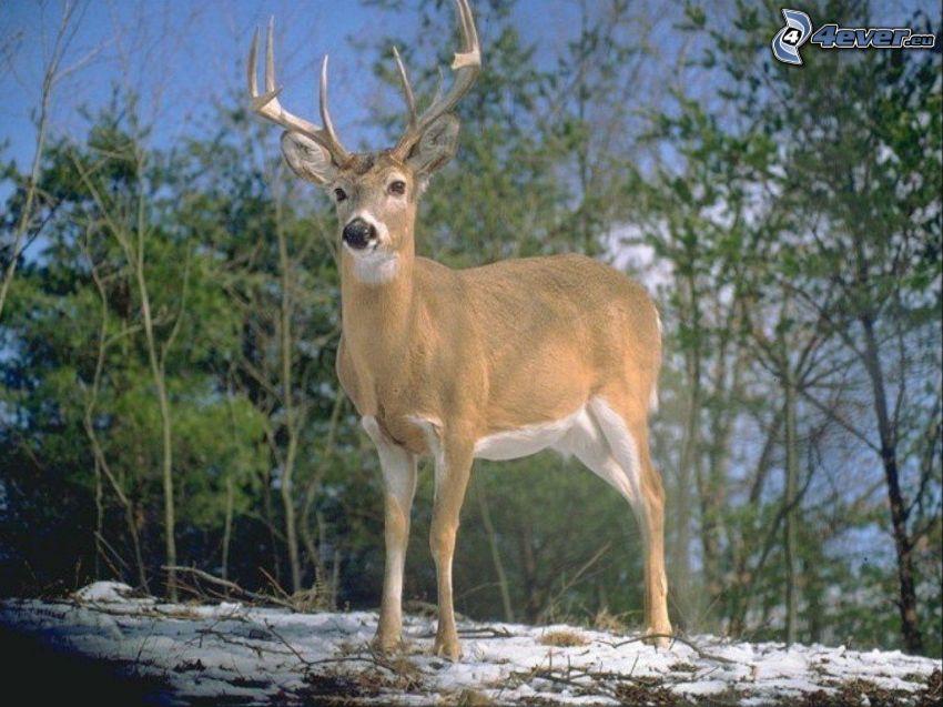 deer, nature, trees