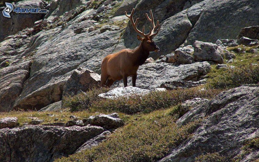 deer, rocks
