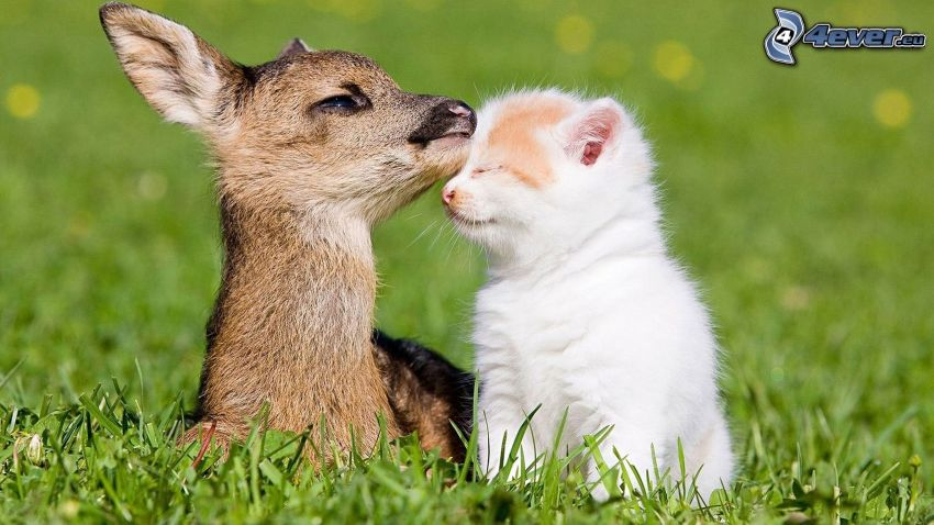 deer, small white kitten