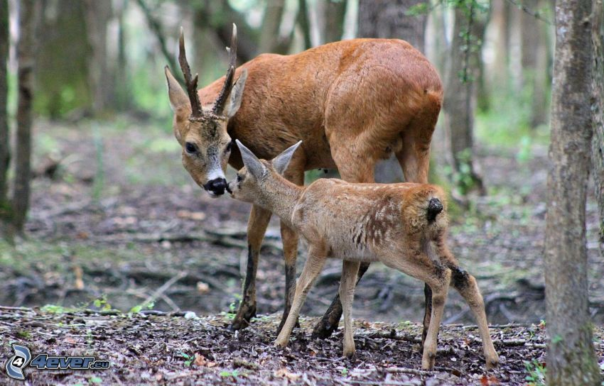 deers, cub