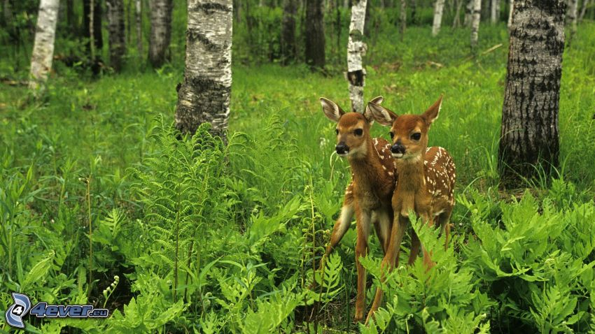 deers, cub deer, forest, ferns