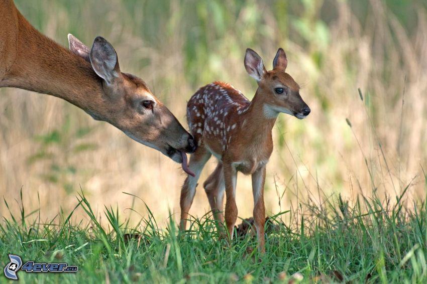 deers, cub deer
