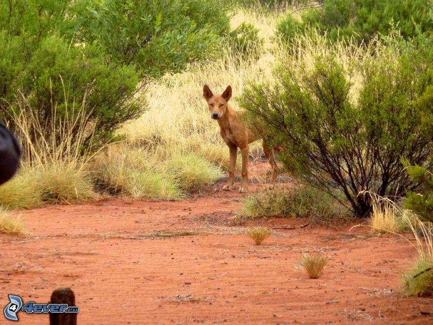 dingo, bushes