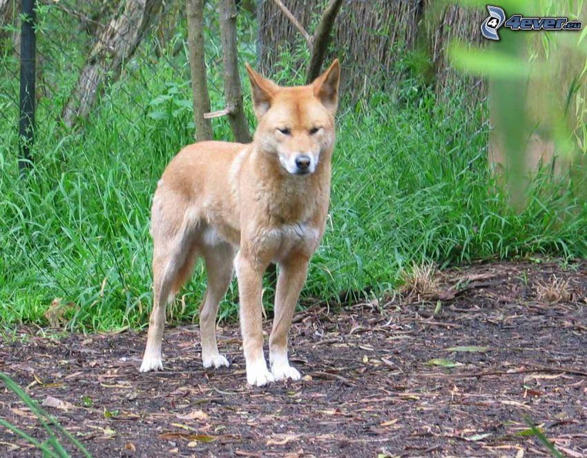 dingo, grass, fence