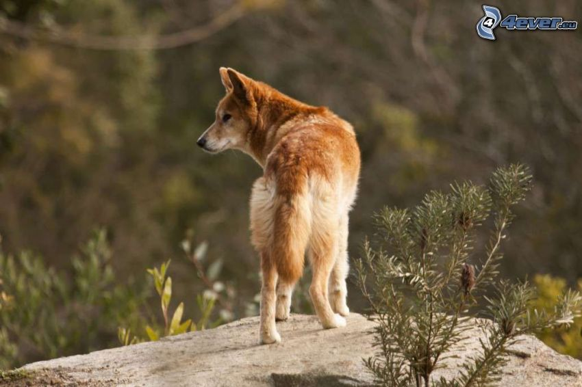 dingo, rock, look