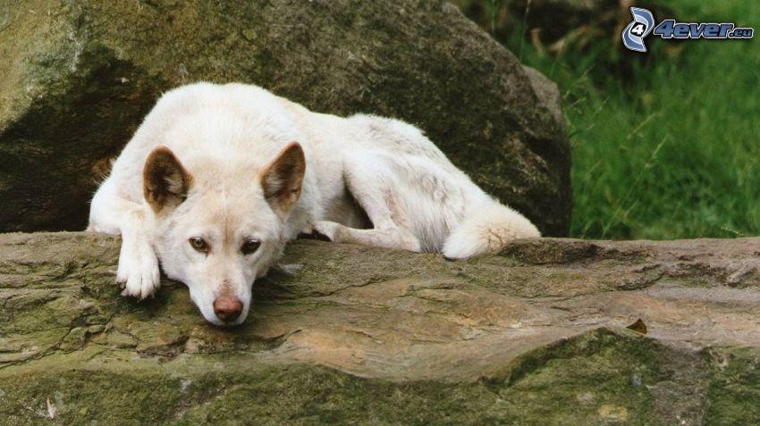 dingo, rock, rest