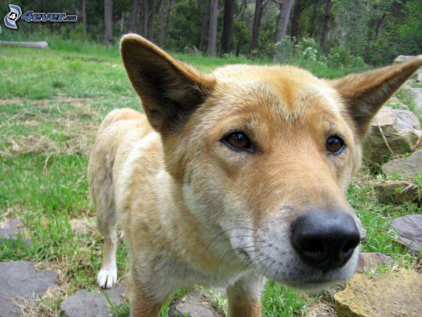 dingo, snout