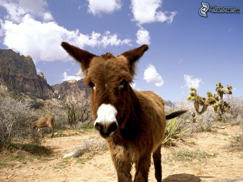donkey, rocky mountains