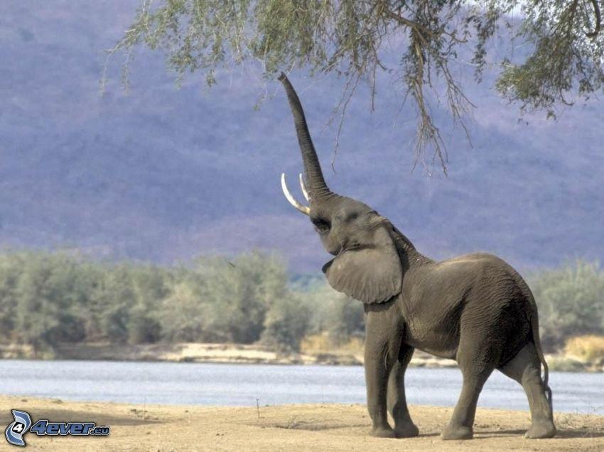elephant, animal