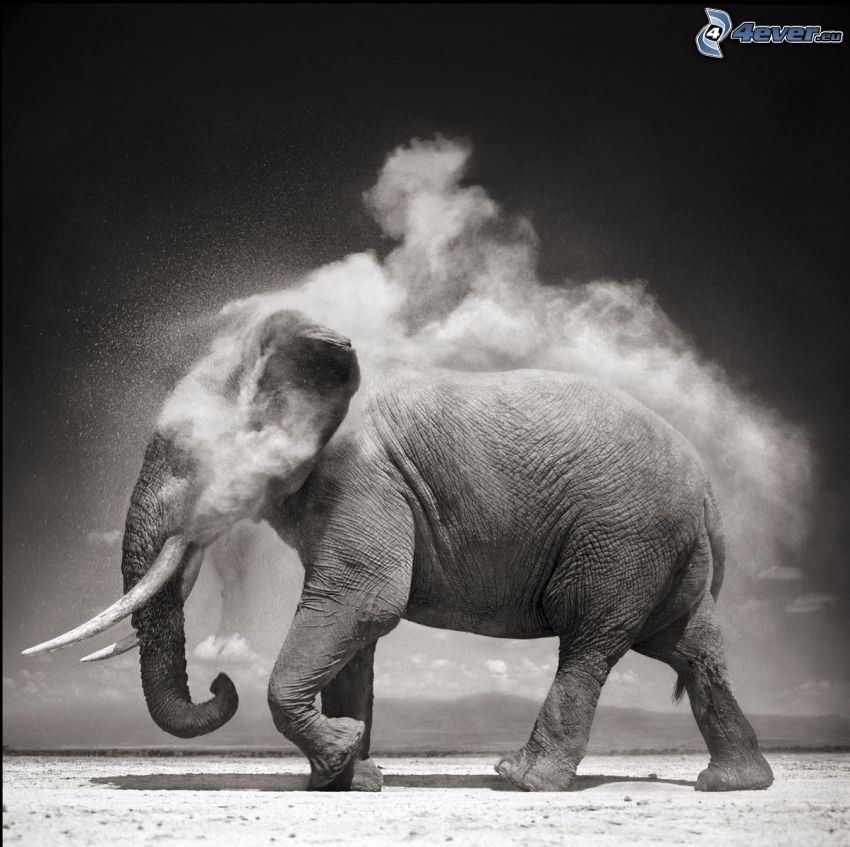 elephant, dust, black and white