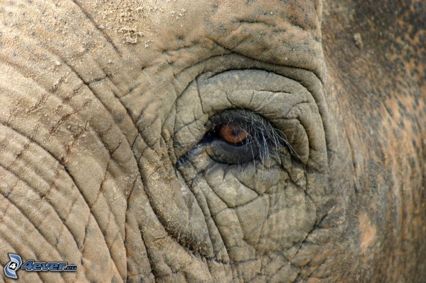 elephant, eye