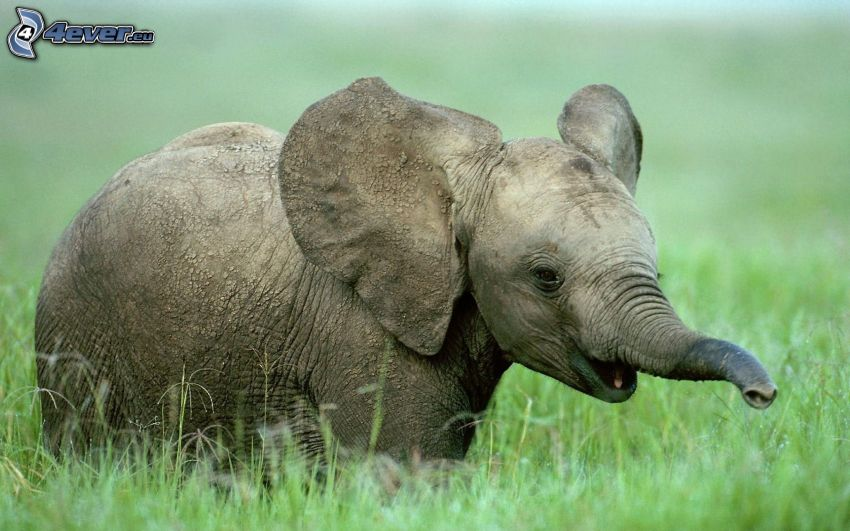 elephant, high grass