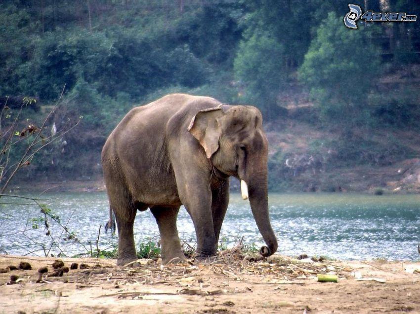 elephant, River