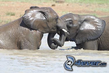 elephant, water, kiss, fight