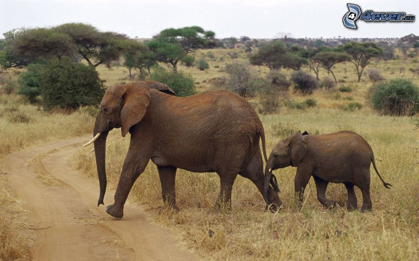 elephants, cub, Savannah, field path