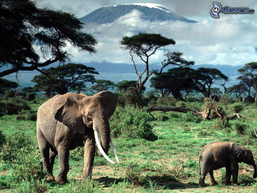 elephants, Savannah, trees, Kilimanjaro