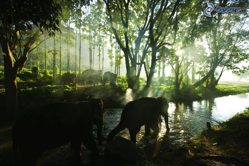 elephants, stream, trees