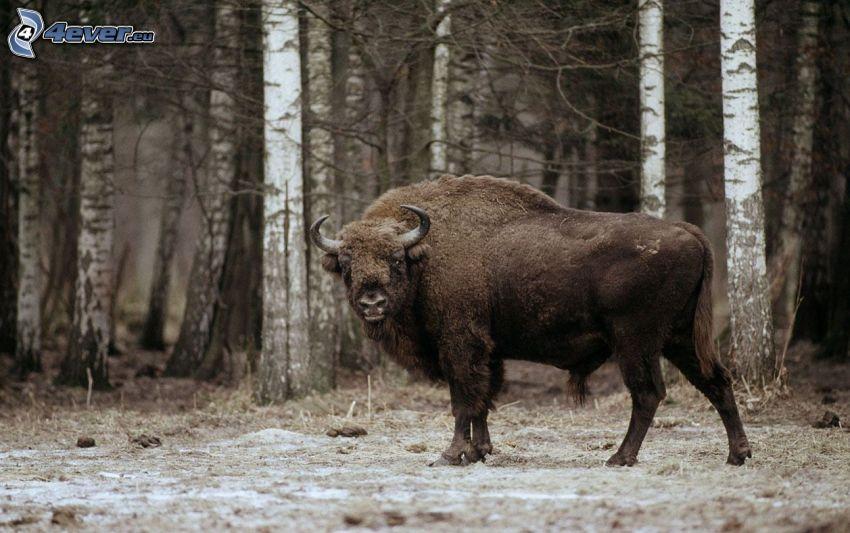 european bison, birches