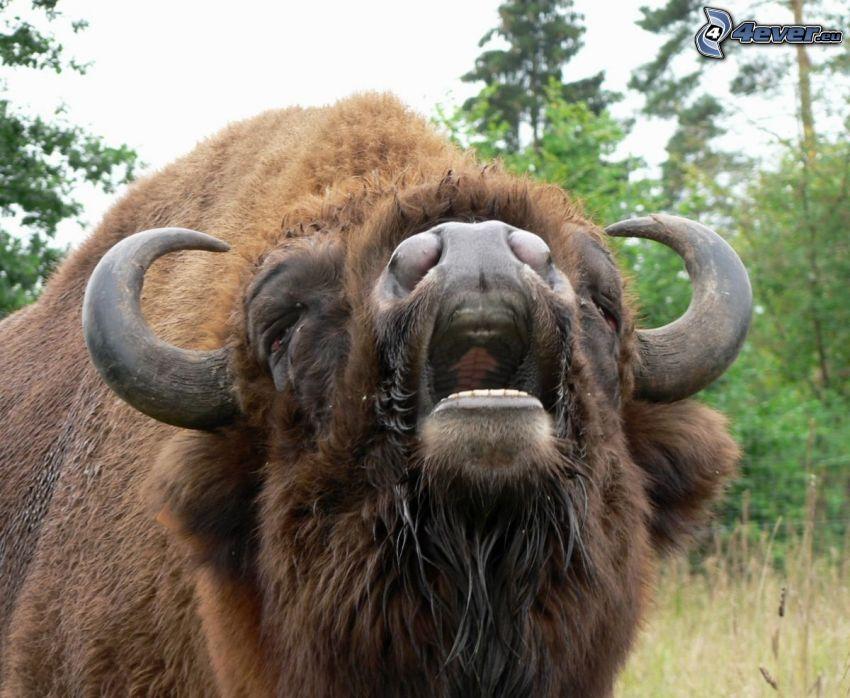 european bison, scream