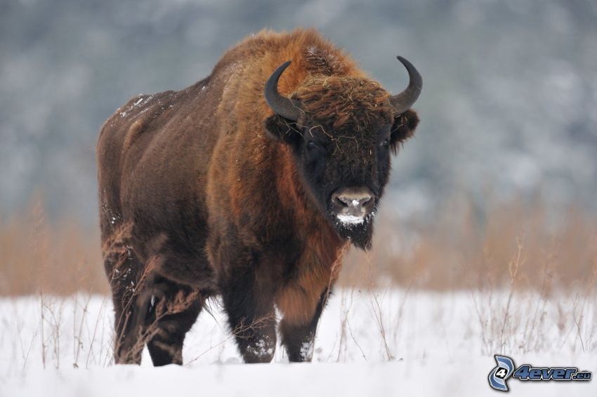 european bison, snow