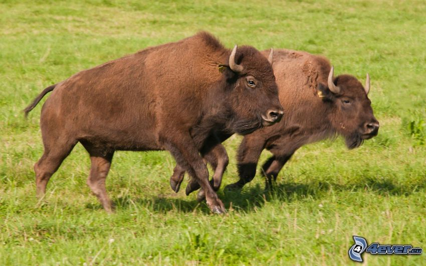 european bisons, running