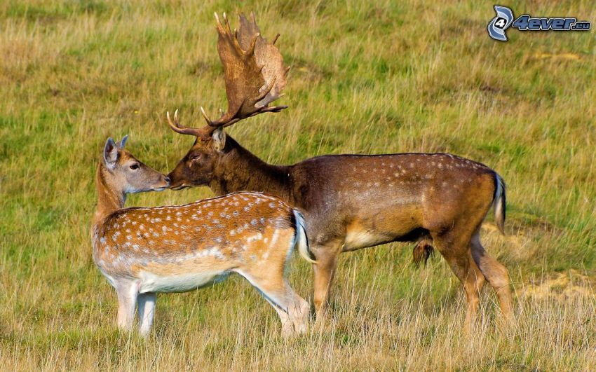 Fallow Deer, doe
