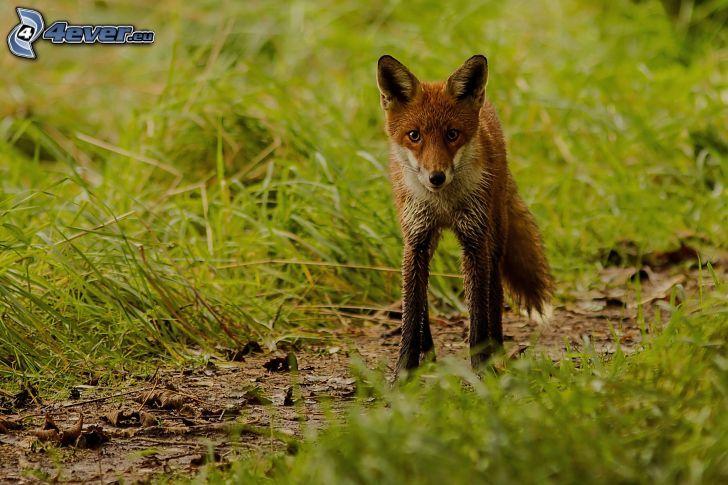 fox, grass