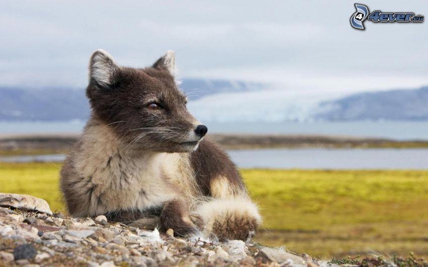 fox, gravel