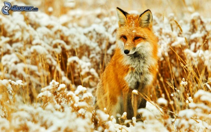 fox in the field, snow, dry grass