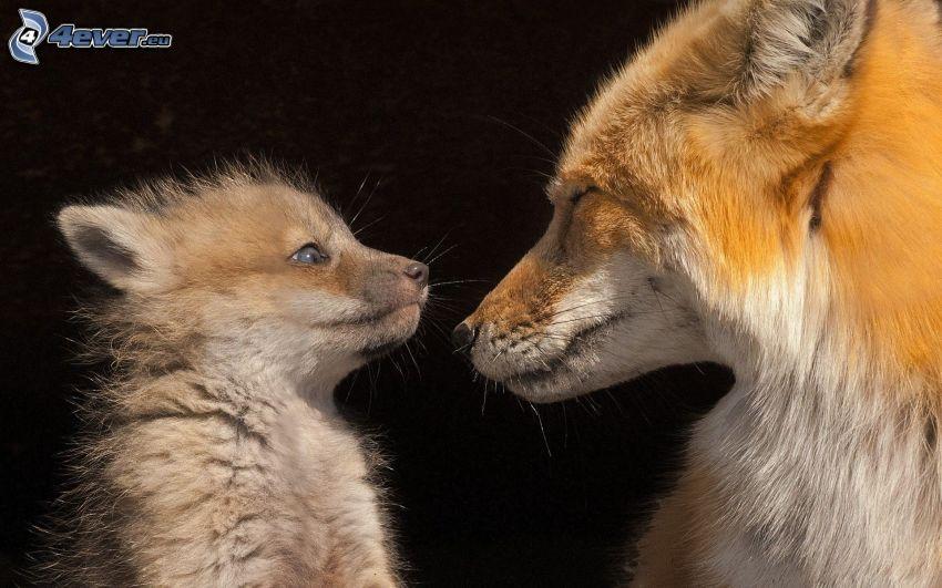 foxes, cub