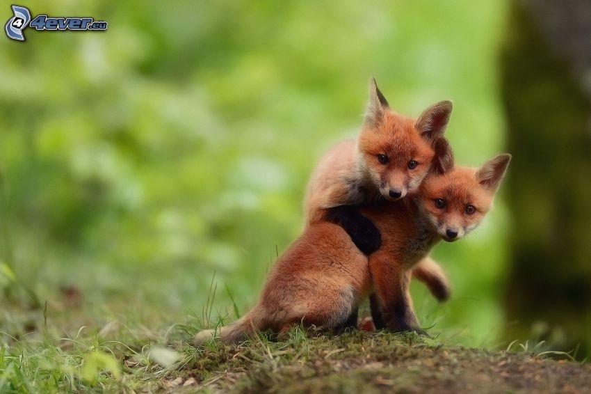 foxes, hug