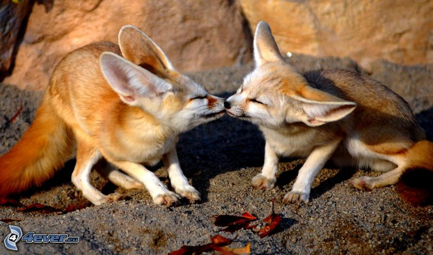 foxes, kiss