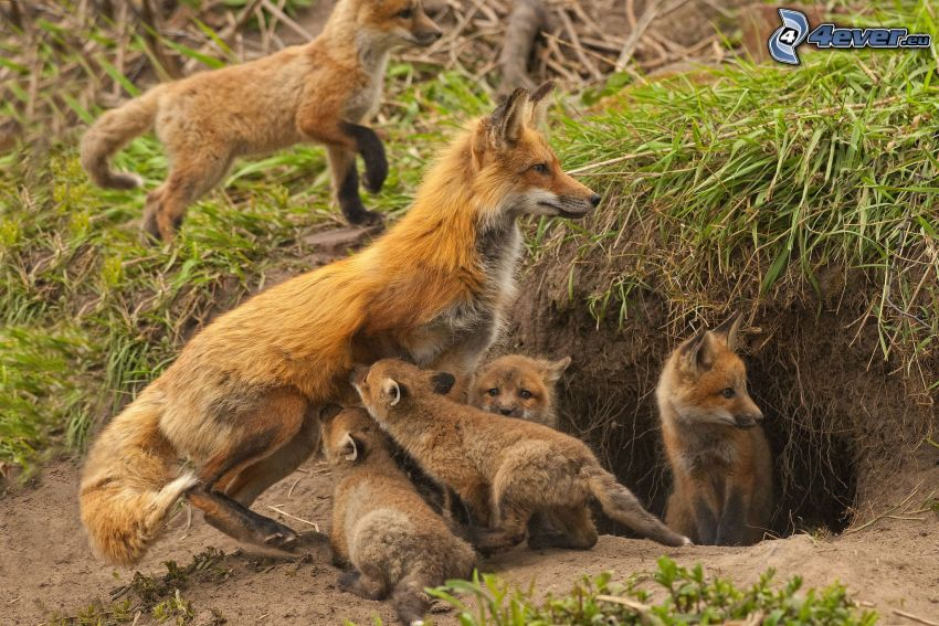 foxes, little foxes