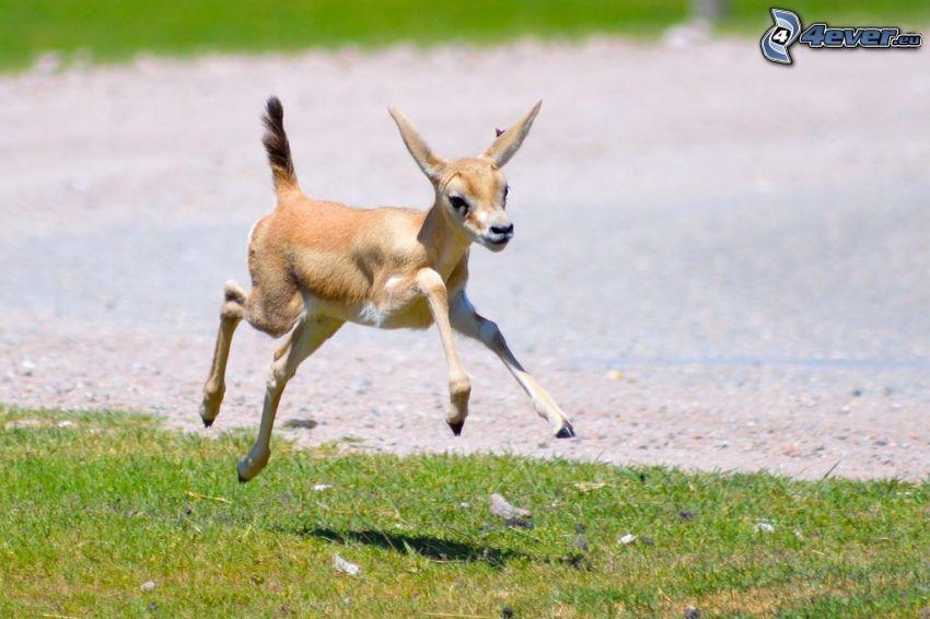 gazelle, cub, jump