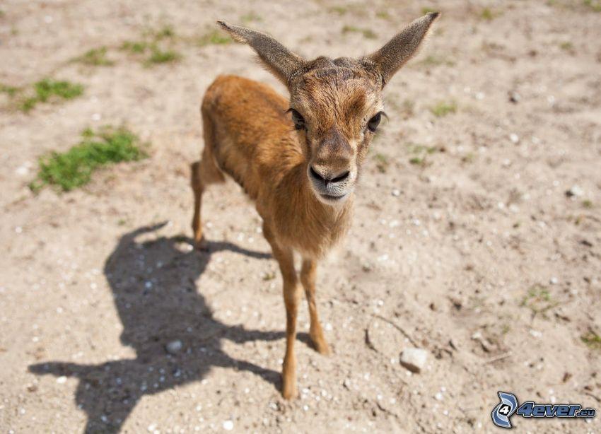 gazelle, cub