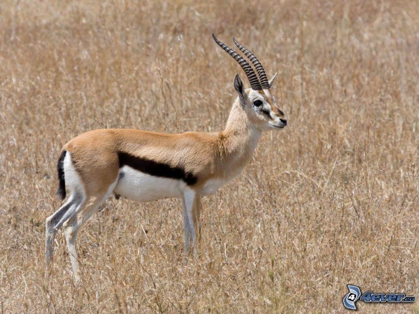 gazelle, dry grass