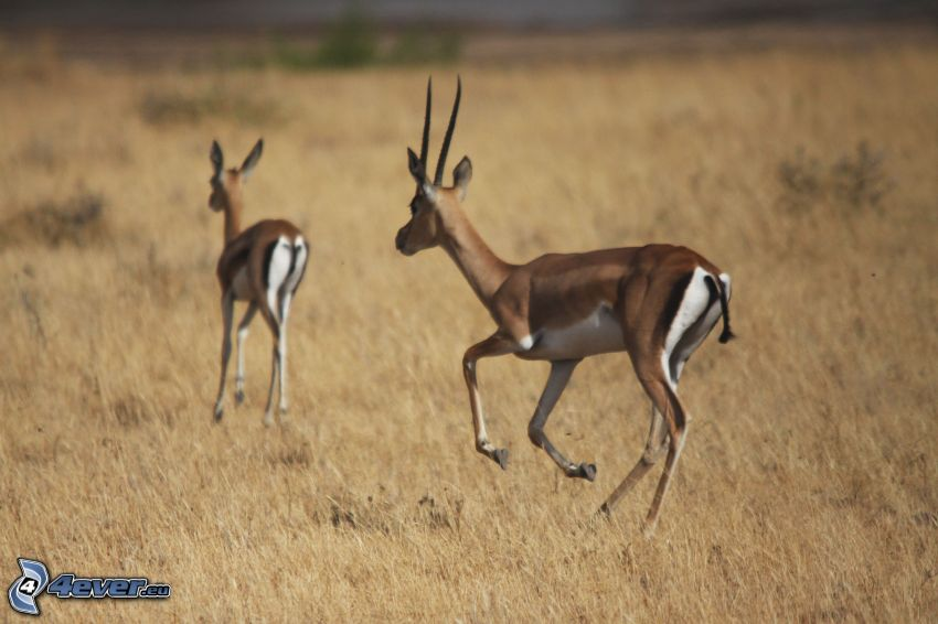 gazelles, dry grass