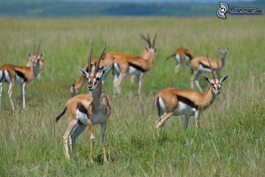 gazelles, grass