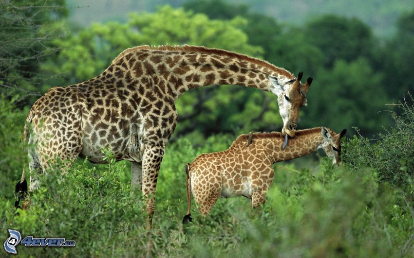 giraffe family, giraffe offspring, greenery