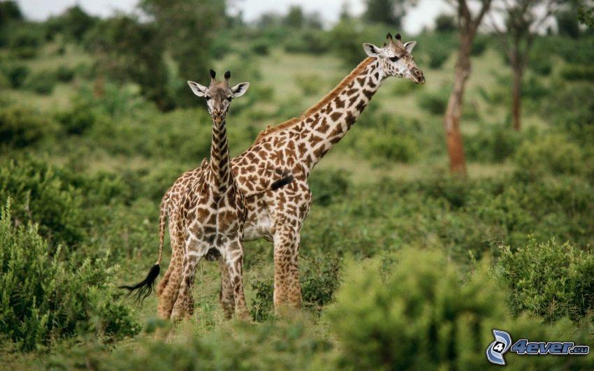 giraffe family, greenery