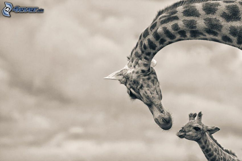 giraffes, giraffe offspring, black and white photo