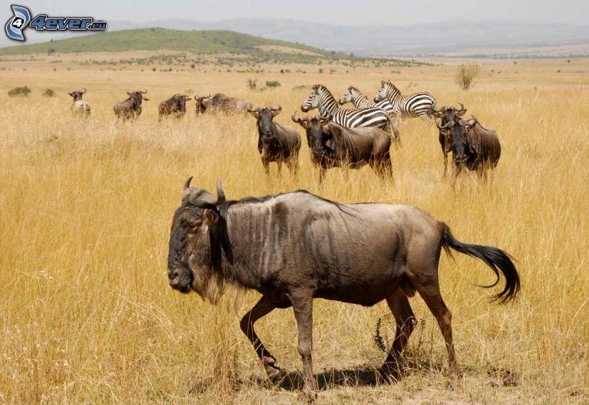 gnus, zebras, meadow