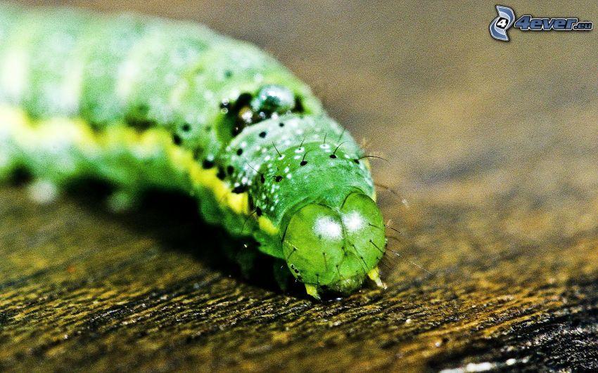 green caterpillar, macro