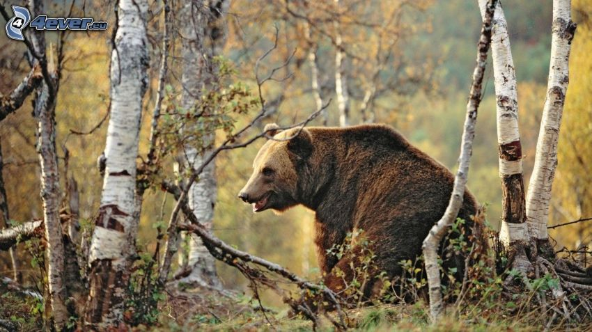 grizzly bear, birches
