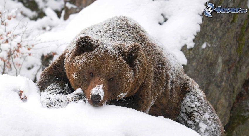 grizzly bear, snow