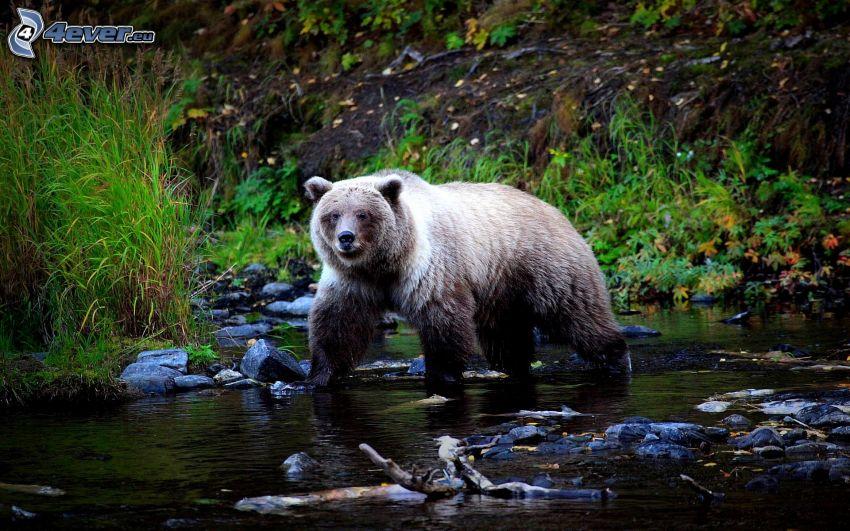 grizzly bear, stream