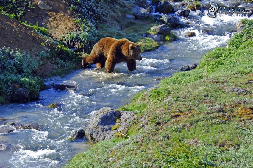 grizzly bear, stream