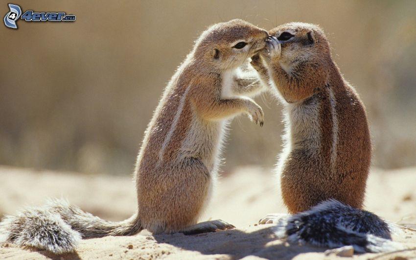 ground squirrel, kiss