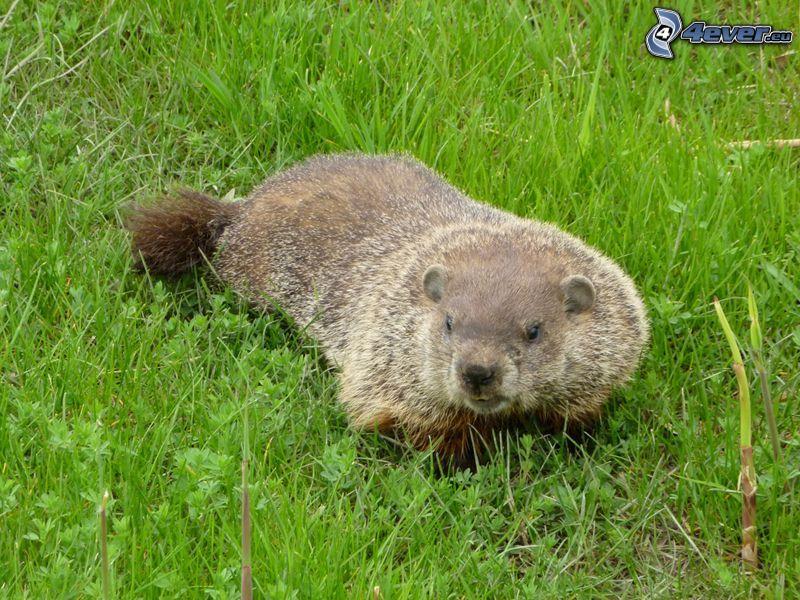 groundhog, grass