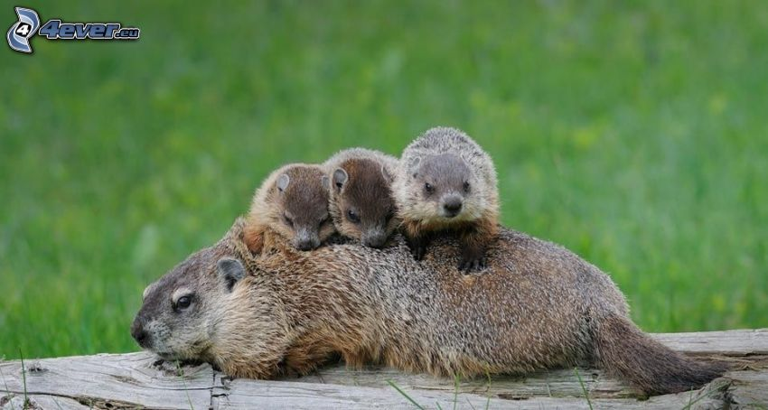 groundhogs, family, cubs